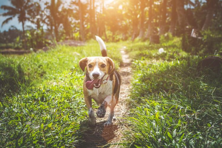 Pet Dog Running